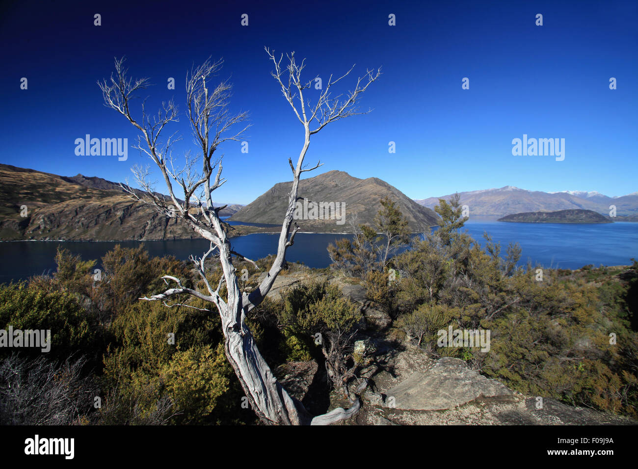 Tree on Mou Waho island in Lake Wanaka, south Island New Zealand - Stock Image