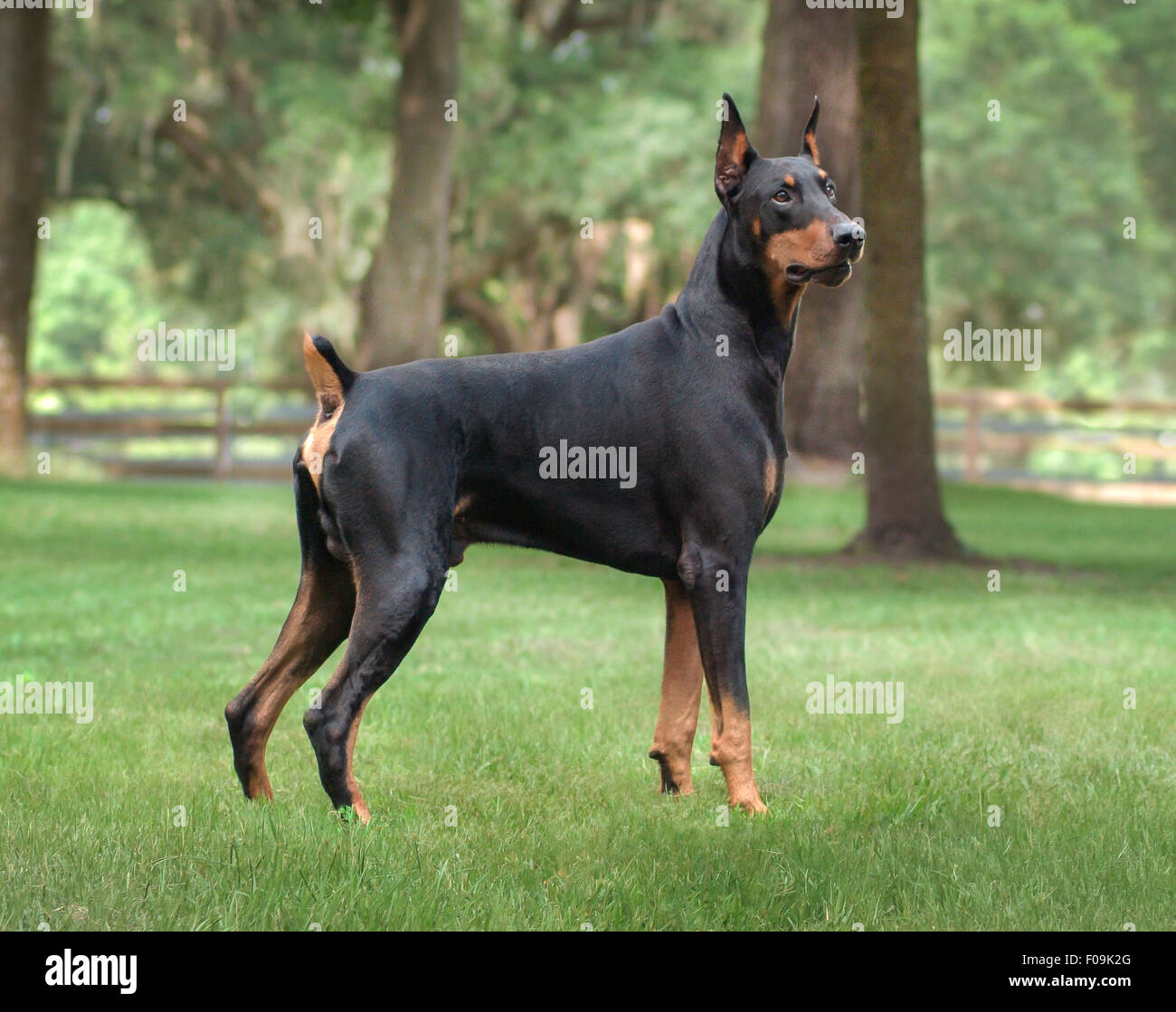 Doberman Pincer male dog - Stock Image