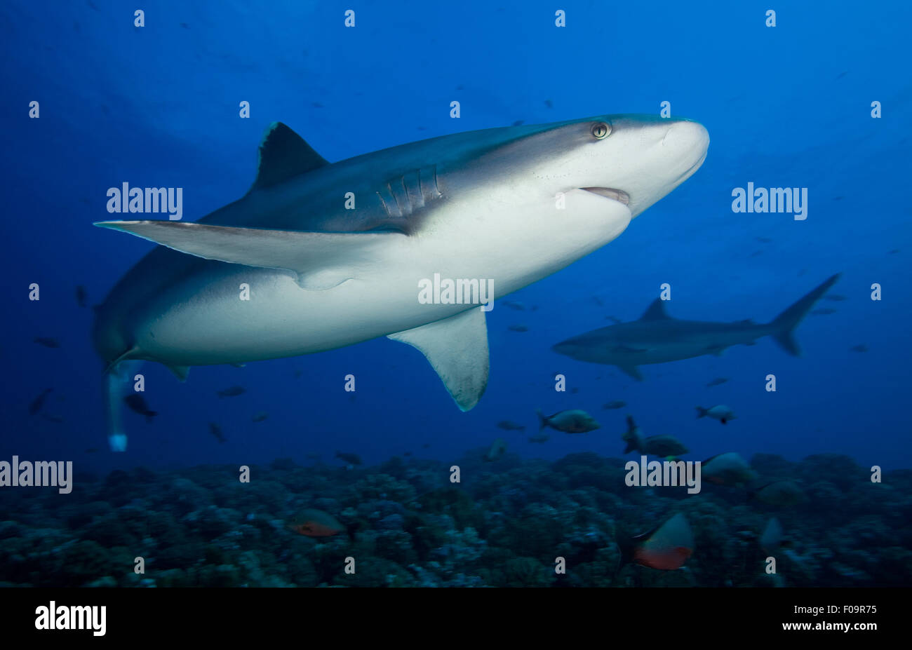 silvertip shark swimming on the reef in french polynesia - Stock Image