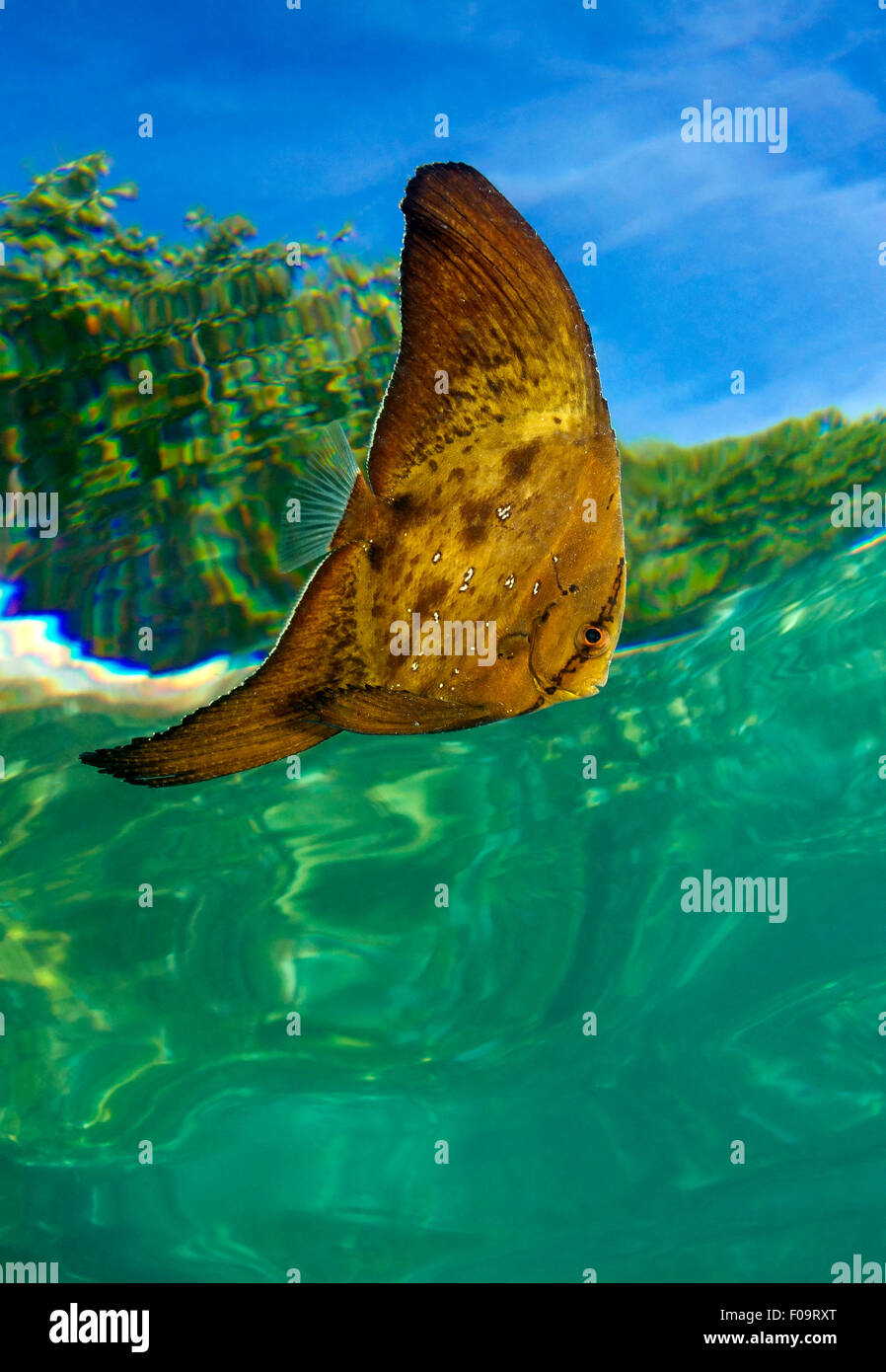 SPADELFISH WITH SURFACE REFLEXION THROUGH THE WATER - Stock Image