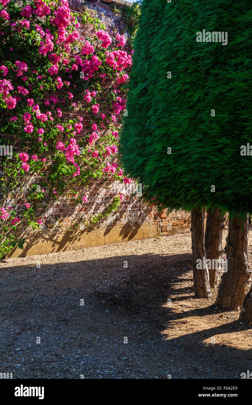 Climbing roses and conifers in the walled gardens at Bowood House in Wiltshire. - Stock Image