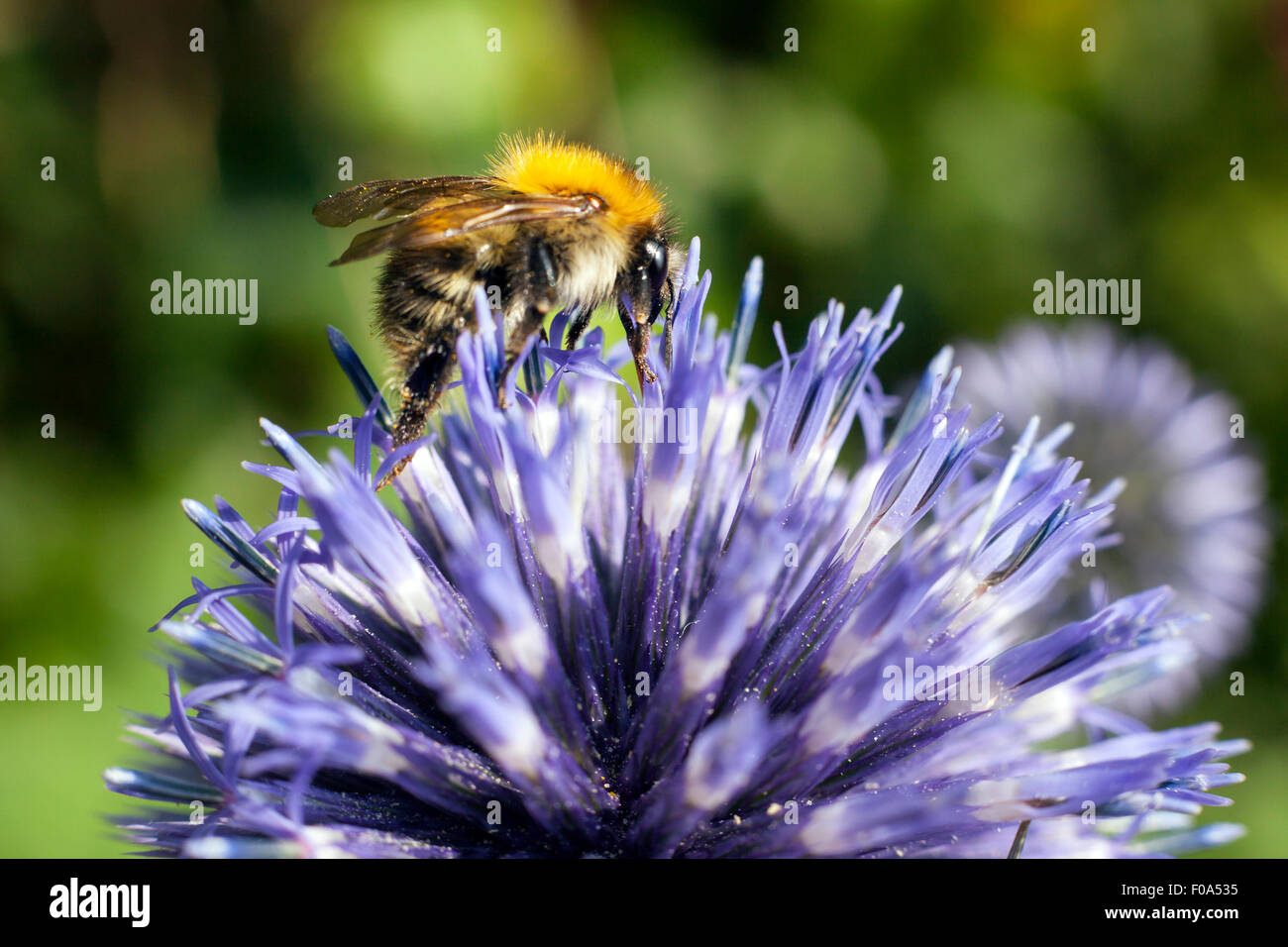 closeup of bumble bee on purple thistle or Echinops bannaticus - Stock Image