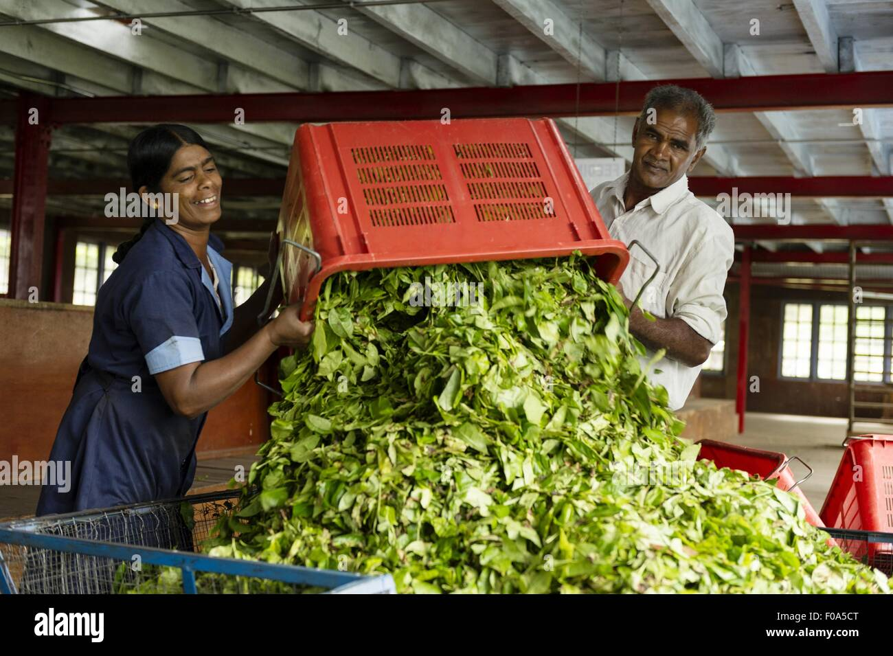 Man and woman dumping tea leaves from basket, Nuwara Eliya, Sri Lanka - Stock Image