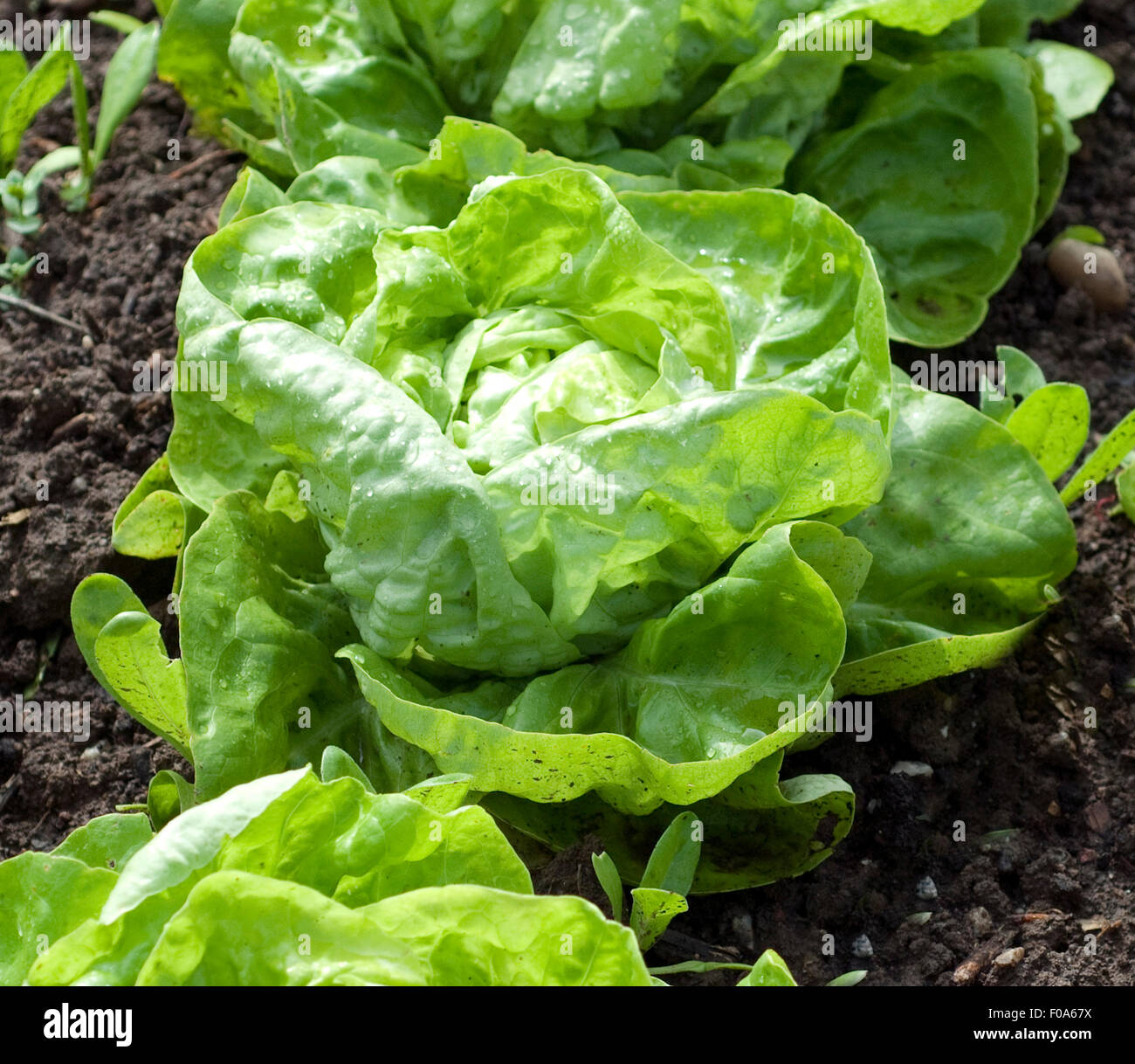 Kopfsalat, Salat, Lactuca, sativa, Stock Photo