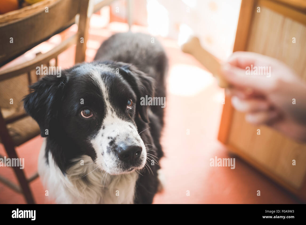 Portrait of dog staring at owners hand and dog biscuit - Stock Image