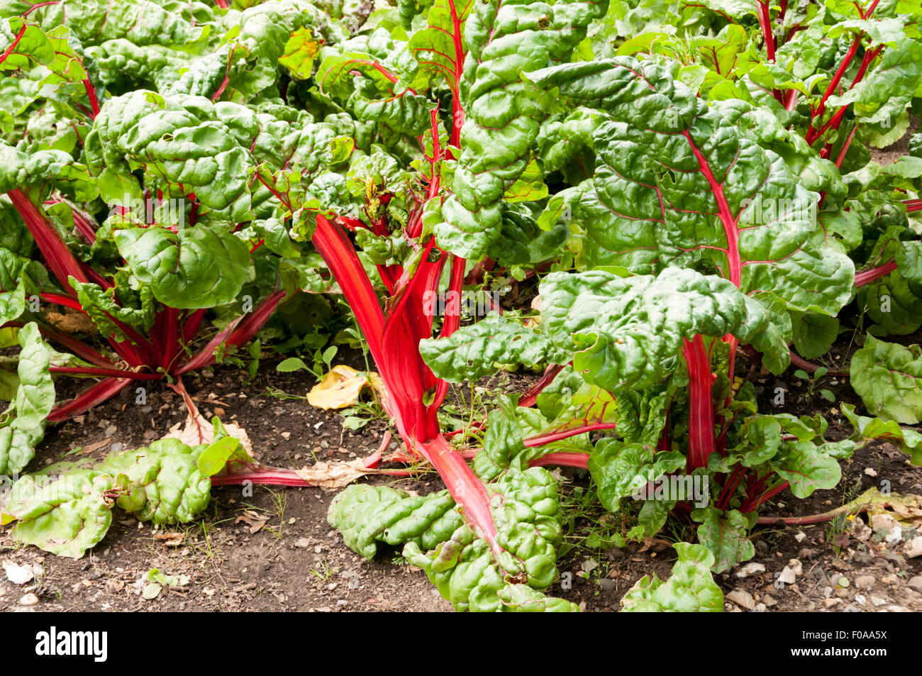 Rhubarb chard (Beta vulgaris) growing in a garden allotment, with characteristic bright red-ribbed leaves and stalk. - Stock Image