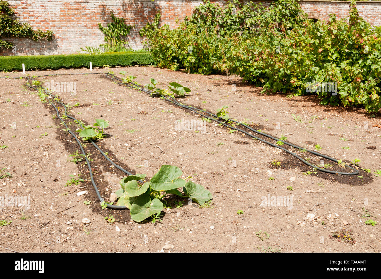 A soaker hose arrangement to water rows of Turk's Cap Pumpkins in a vegetable garden. - Stock Image