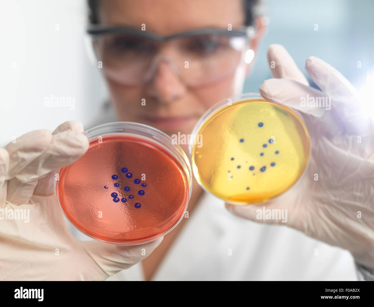 Scientist examining set of petri dishes in microbiology lab - Stock Image