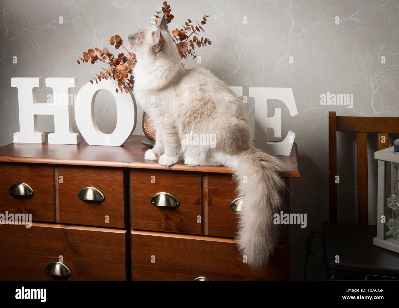 Ragdoll cat sitting on sideboard - Stock Image