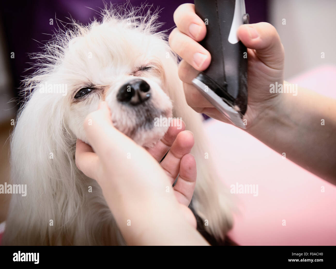 Dog being groomed in salon, close-up - Stock Image