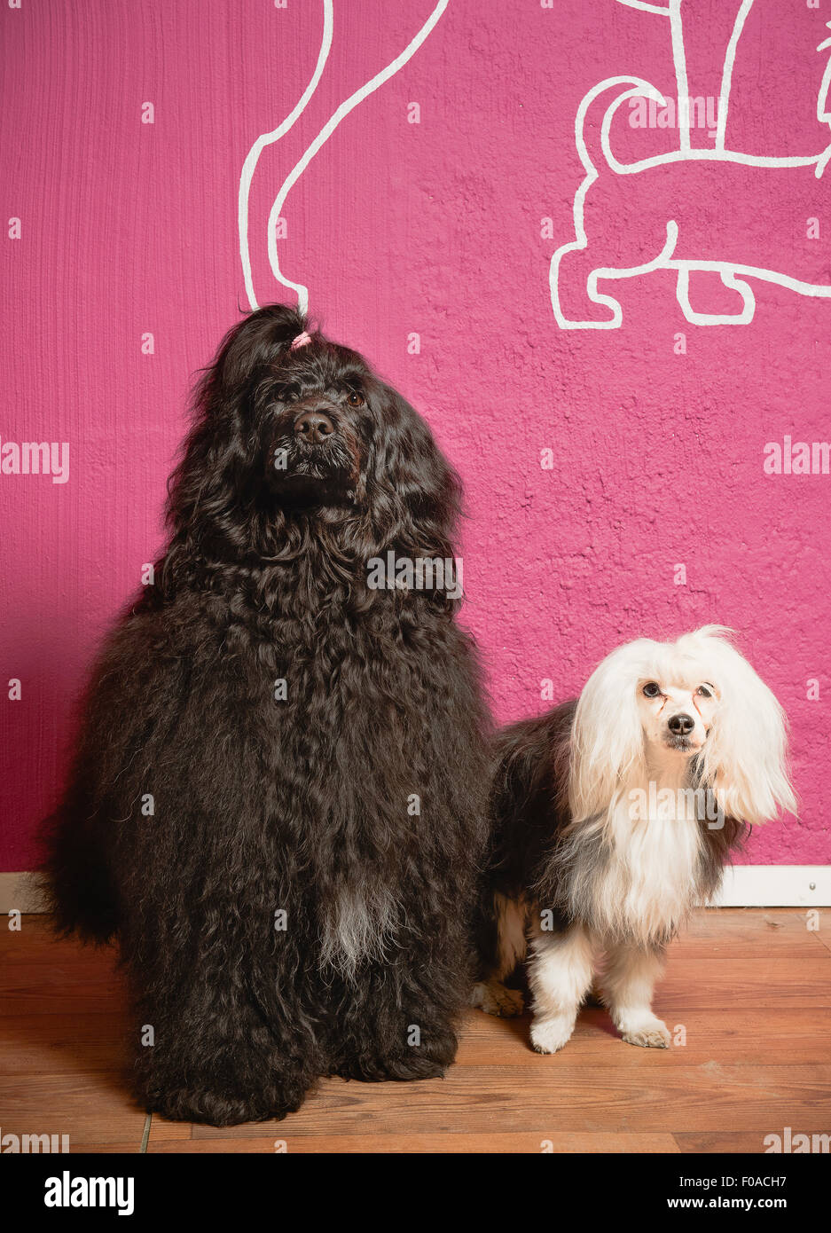 Portrait of two dogs in grooming salon - Stock Image