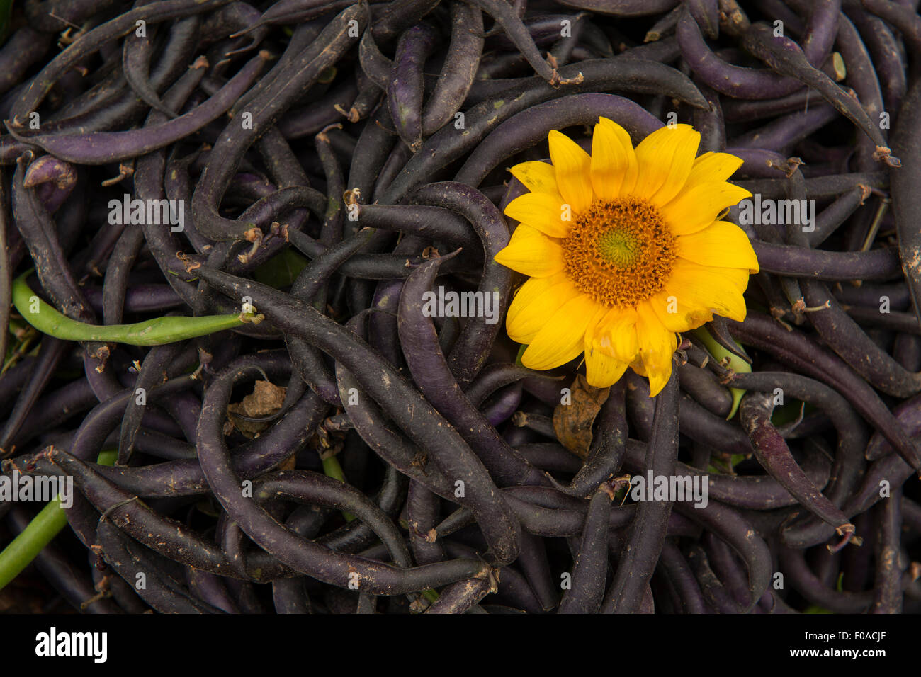 Pile of beans with yellow flower, close-up - Stock Image