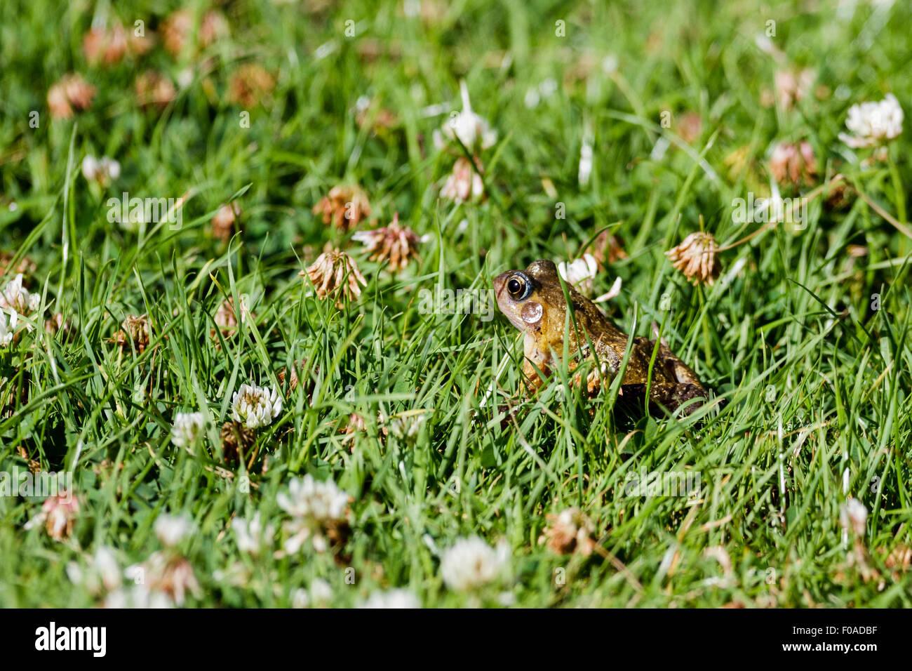 Common frog (Rana temporaria) East Sussex garden, UK - Stock Image