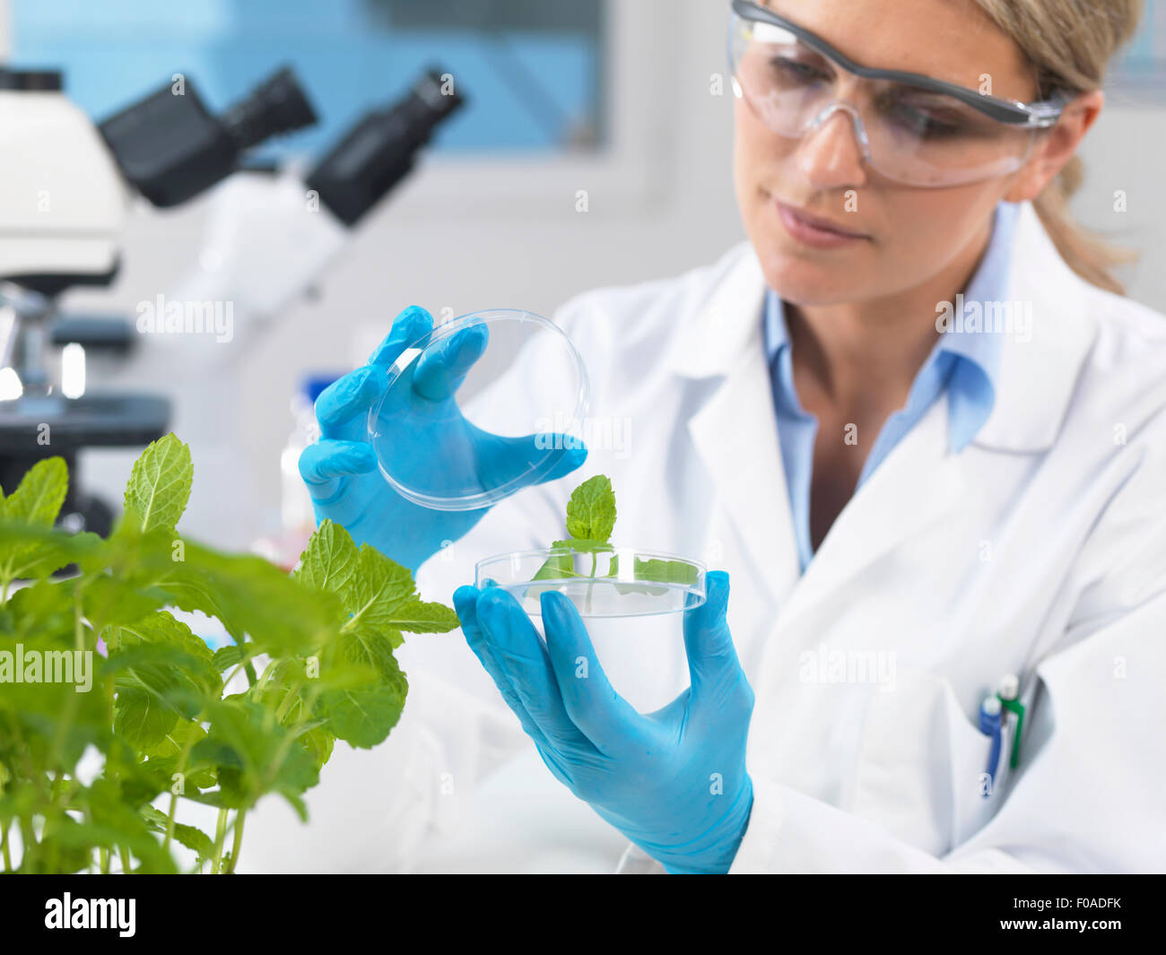 Scientist viewing development of experimental plants in research laboratory - Stock Image