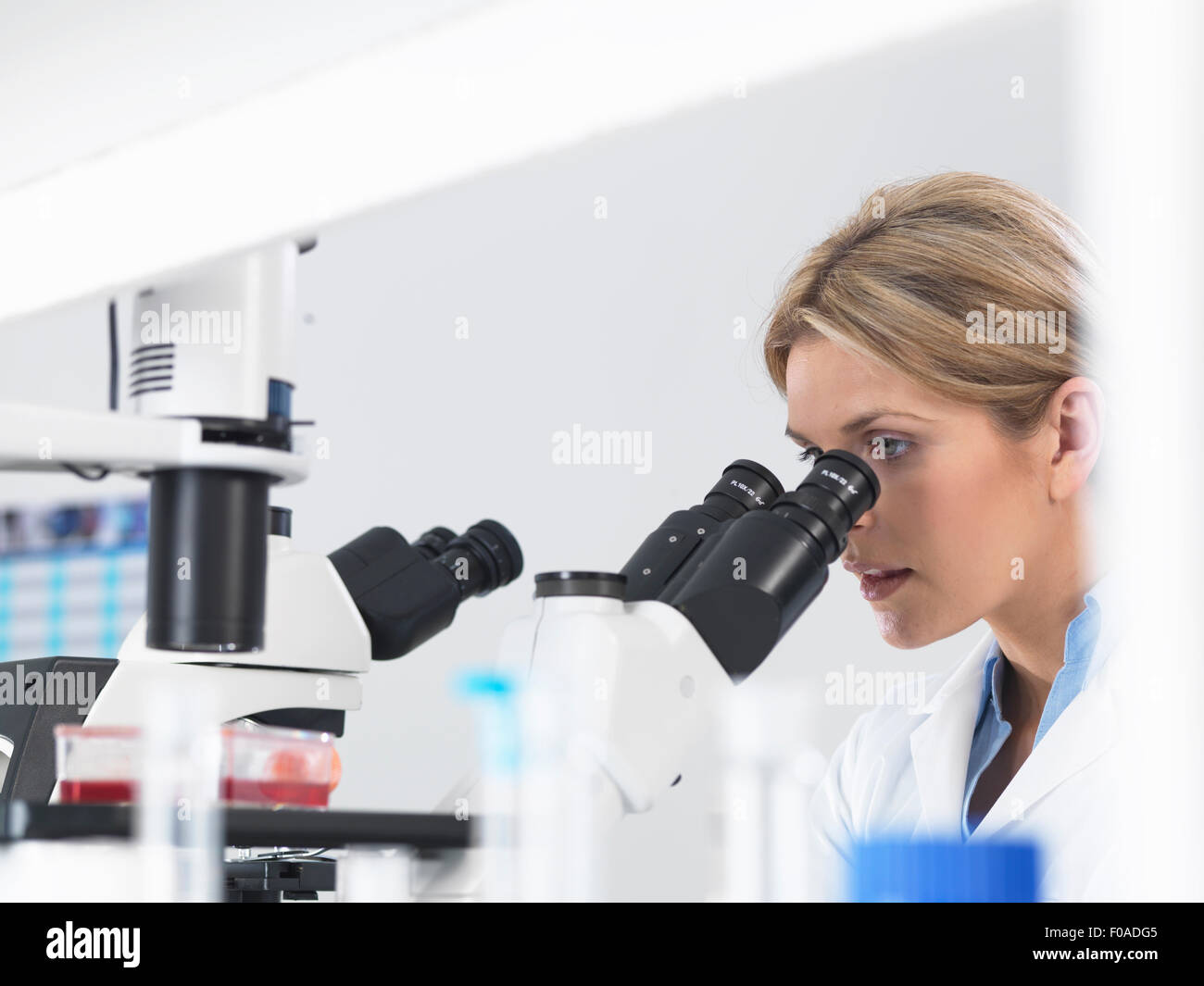 Scientist viewing stem cell cultures growing in growth medium under a inverted microscope in a laboratory - Stock Image