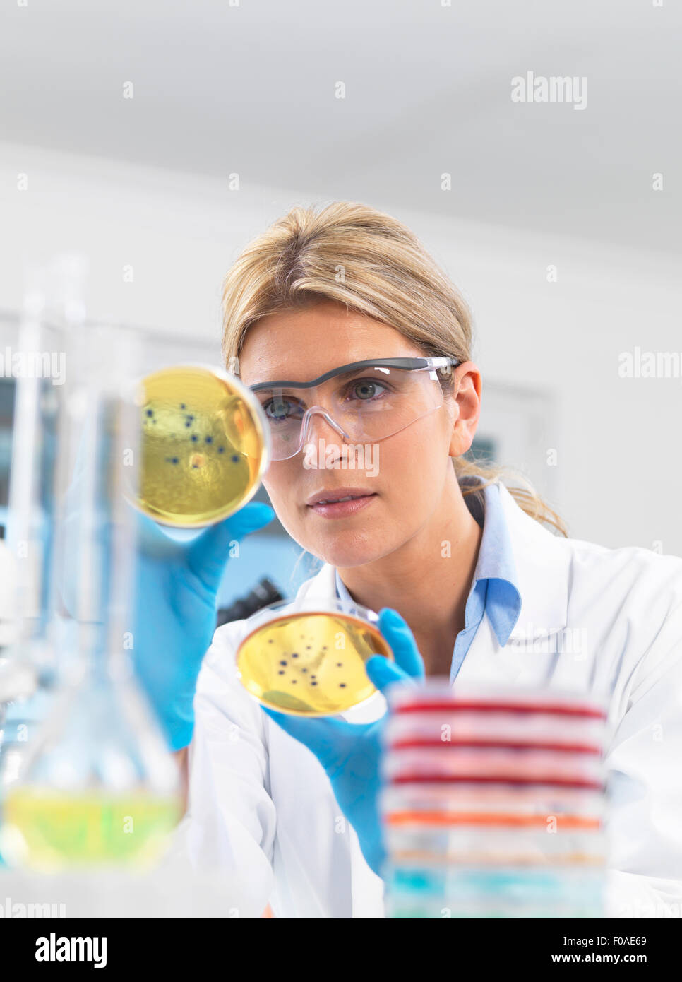 Female technician viewing agar (culture medium) plates with bacteria in a laboratory - Stock Image