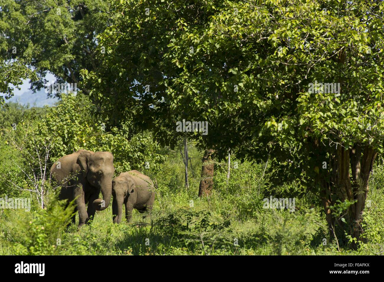Elephants in Udawalawe National Park, Uva Province, Sri Lanka - Stock Image