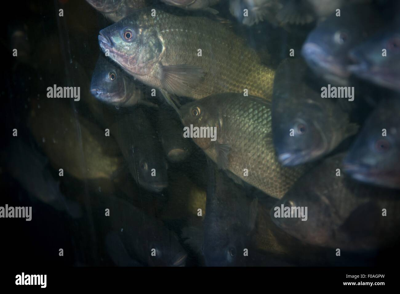 Close-up of carp fishes in Efficient City Farming, Schoneberg, Berlin, Germany - Stock Image