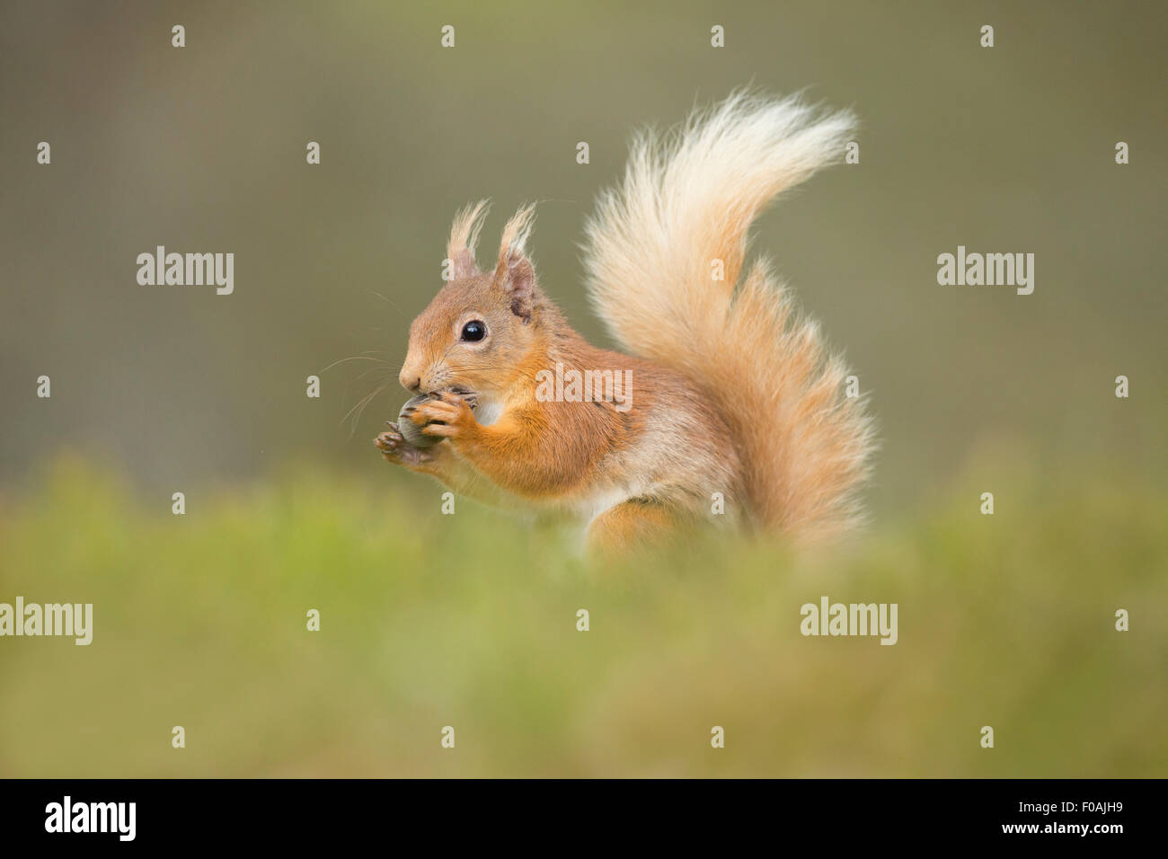 Scottish Red Squirrel tucking into a Hazelnut. Stock Photo