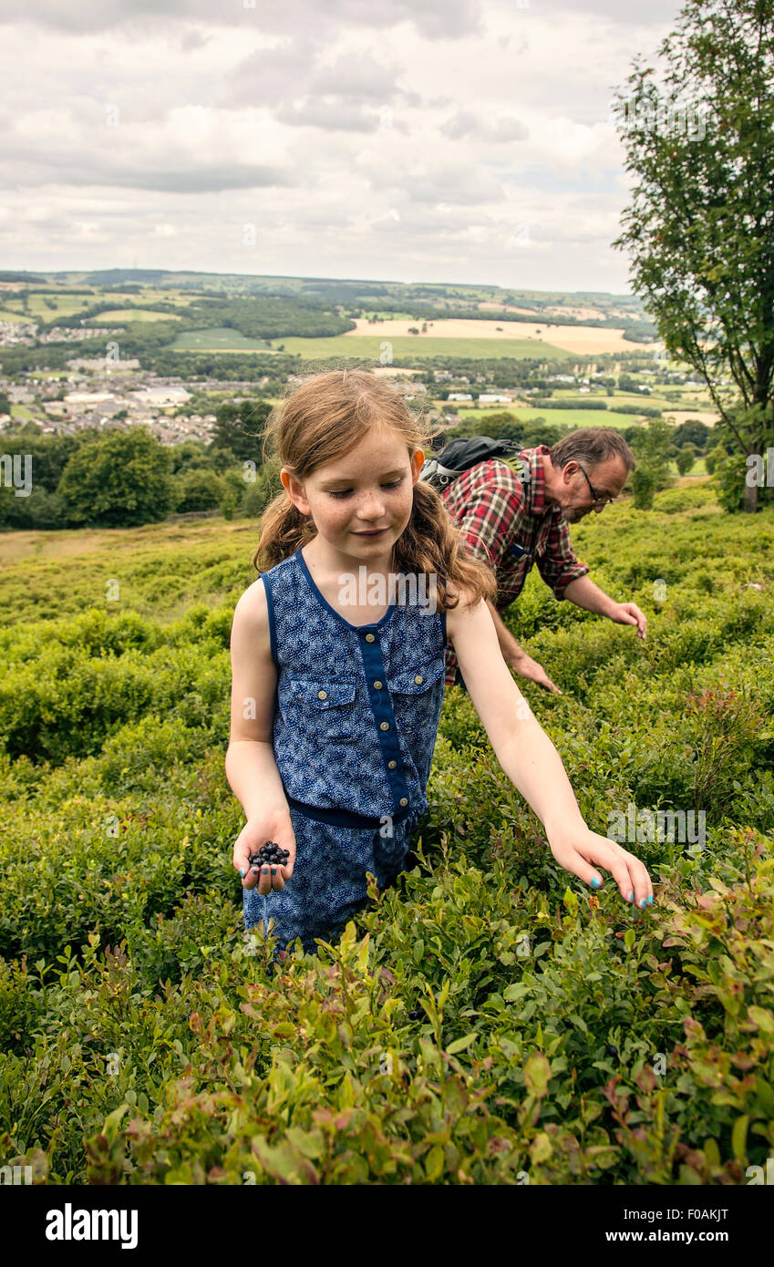 A father and daughter spending afternoon picking bilberries on Otley chevin, West Yorkshire. - Stock Image