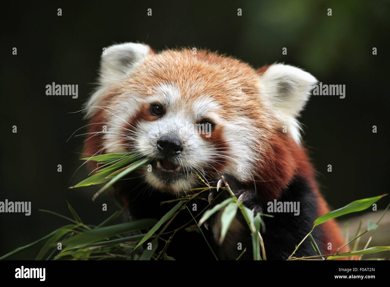 Red panda (Ailurus fulgens) eats bamboo at Chomutov Zoo in Chomutov, North Bohemia, Czech Republic. Stock Photo
