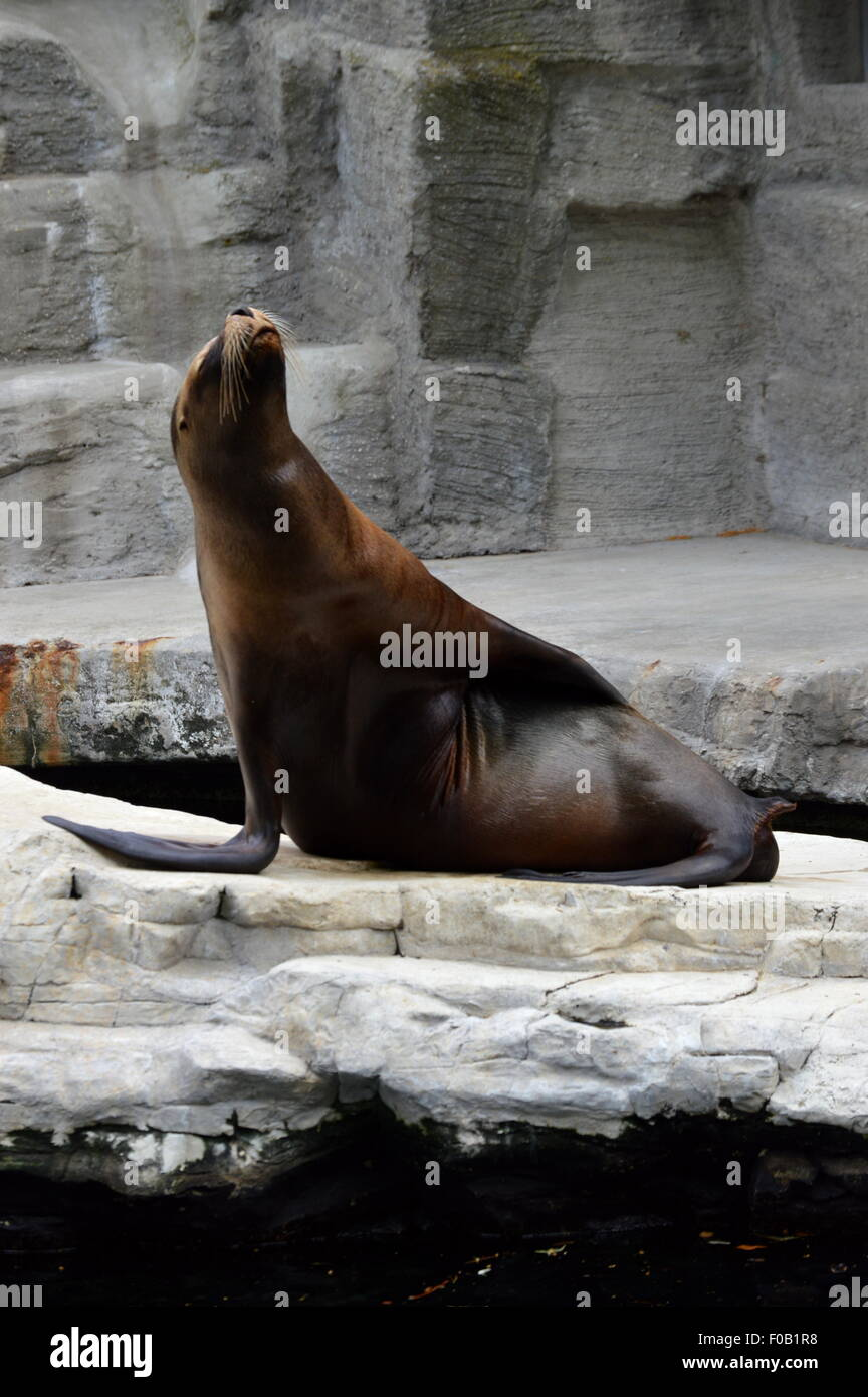 Sealion Scratches on Rock - Stock Image