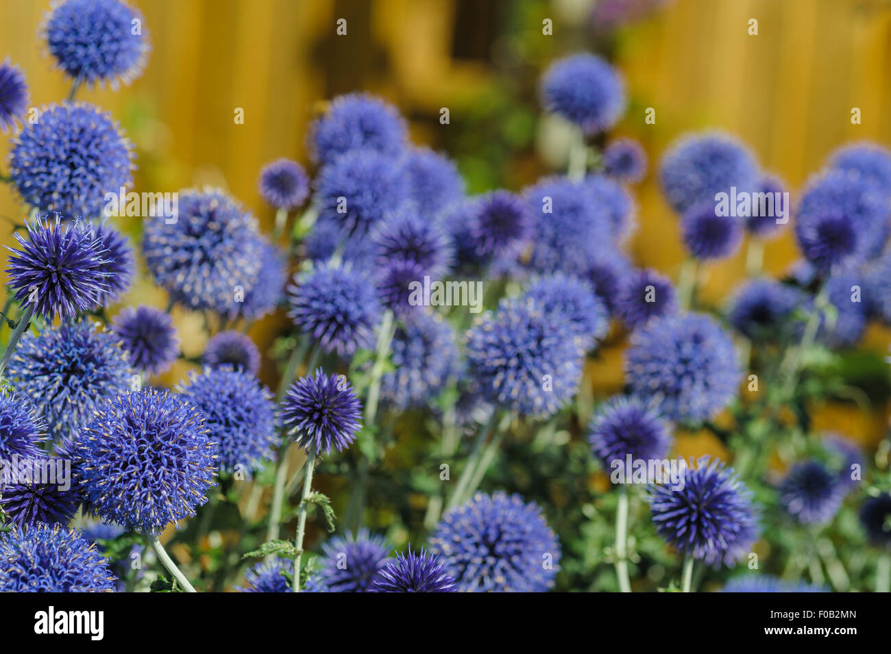 Echinops Veitch's Blue, Globe Thistle. - Stock Image