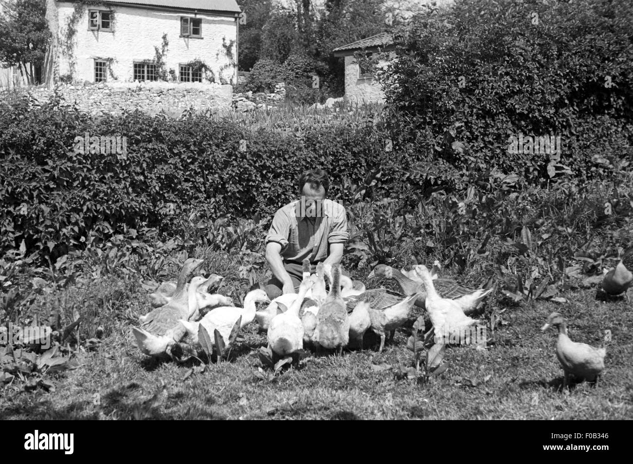 A man feeding geese and ducks in his garden outside a country cottage - Stock Image