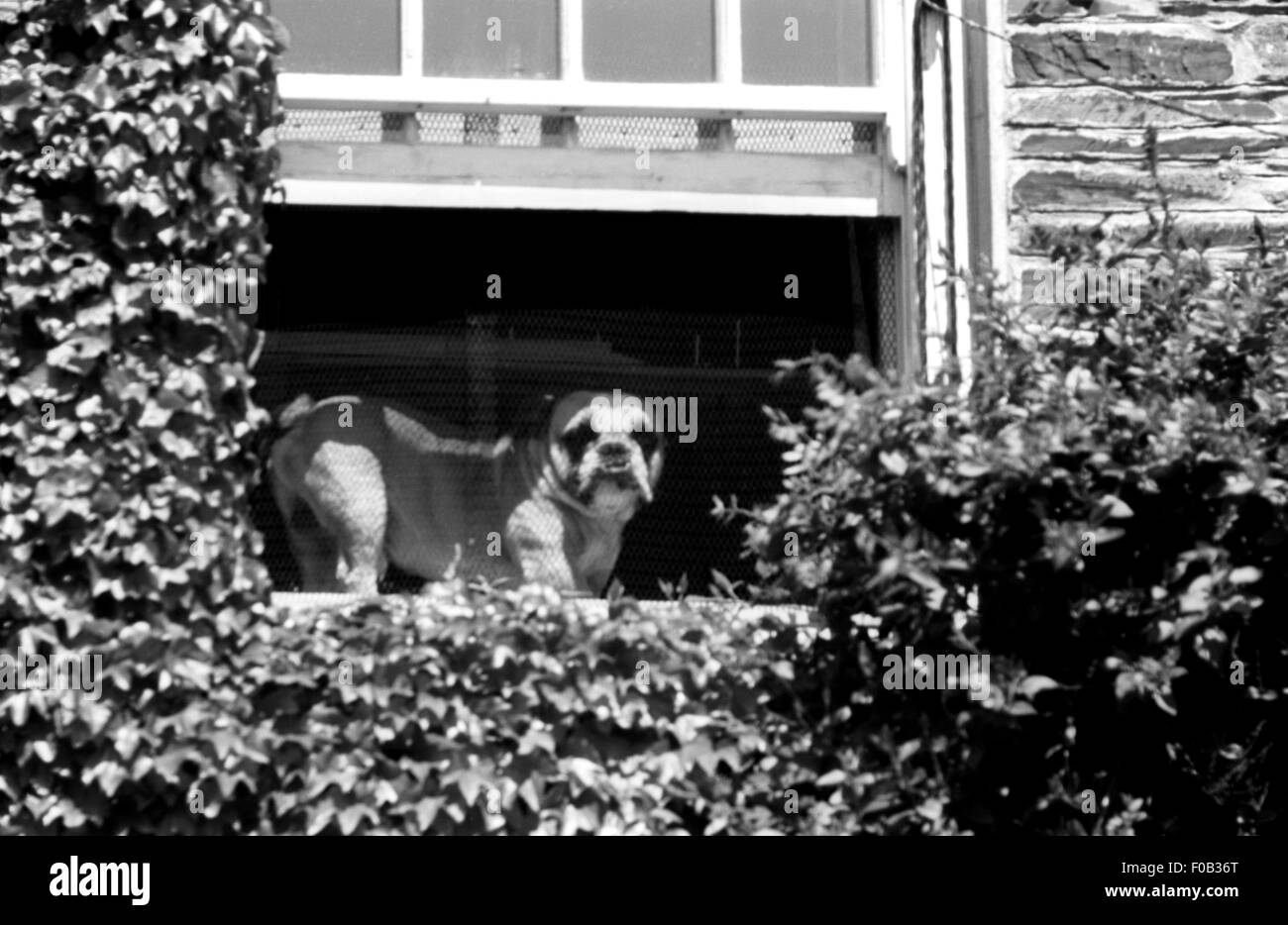A view from below of a Bulldog on a window ledge of a house. Ivy is growing on the building. - Stock Image