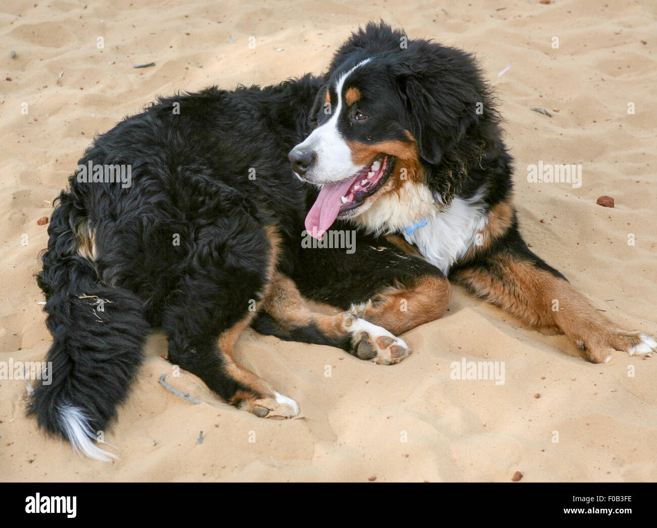 The Bernese Mountain Dog, called in German the Berner Sennenhund, is a large-sized breed of dog, one of the four - Stock Image