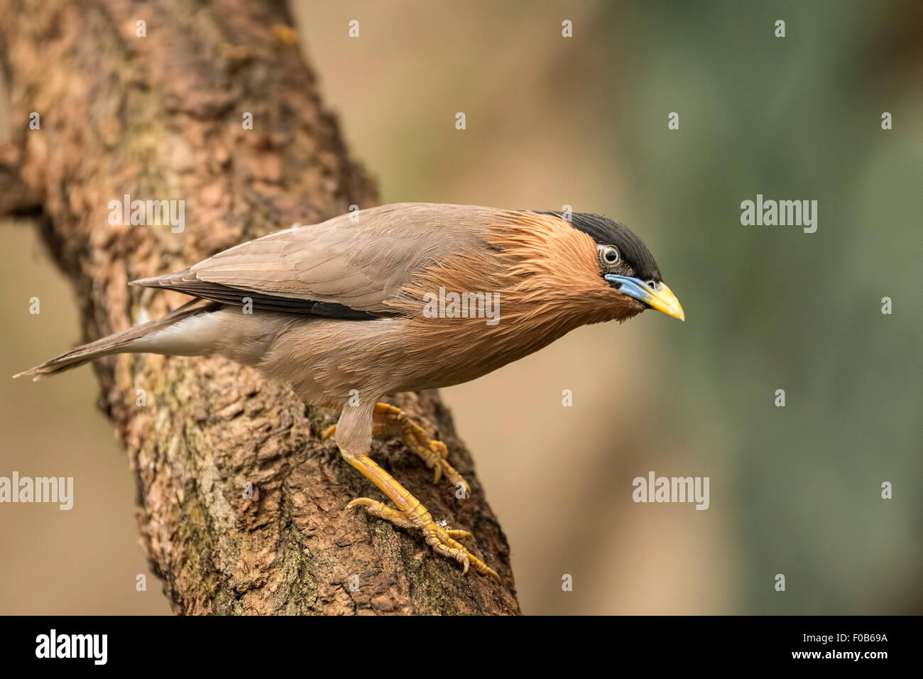 The brahminy myna or brahminy starling (Sturnia pagodarum) is a resident breeder in Nepal and India, a winter visitor - Stock Image