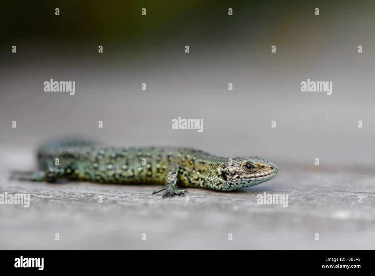 Common Lizard basking on a boardwalk. - Stock Image