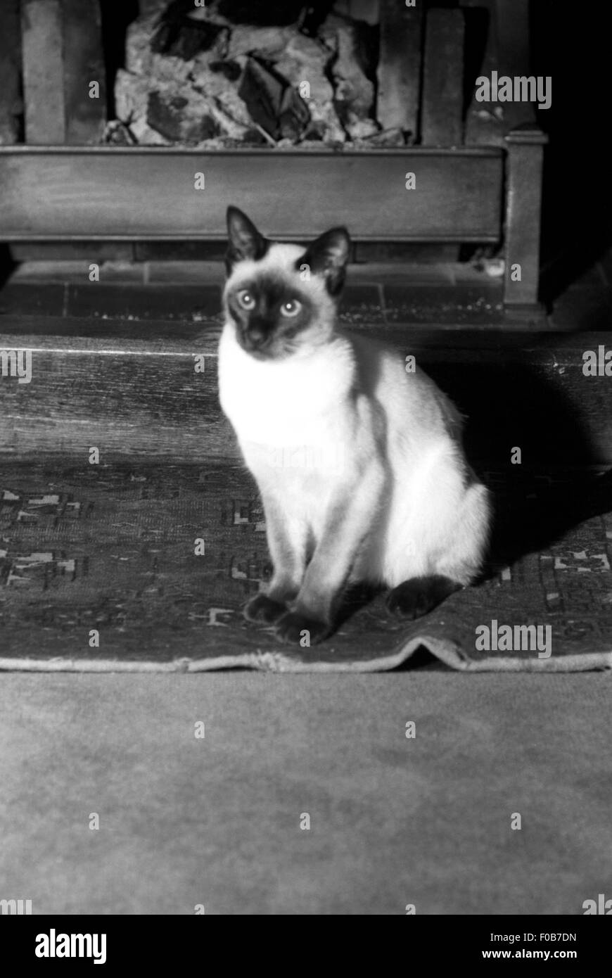 A Siamese pet cat - Stock Image