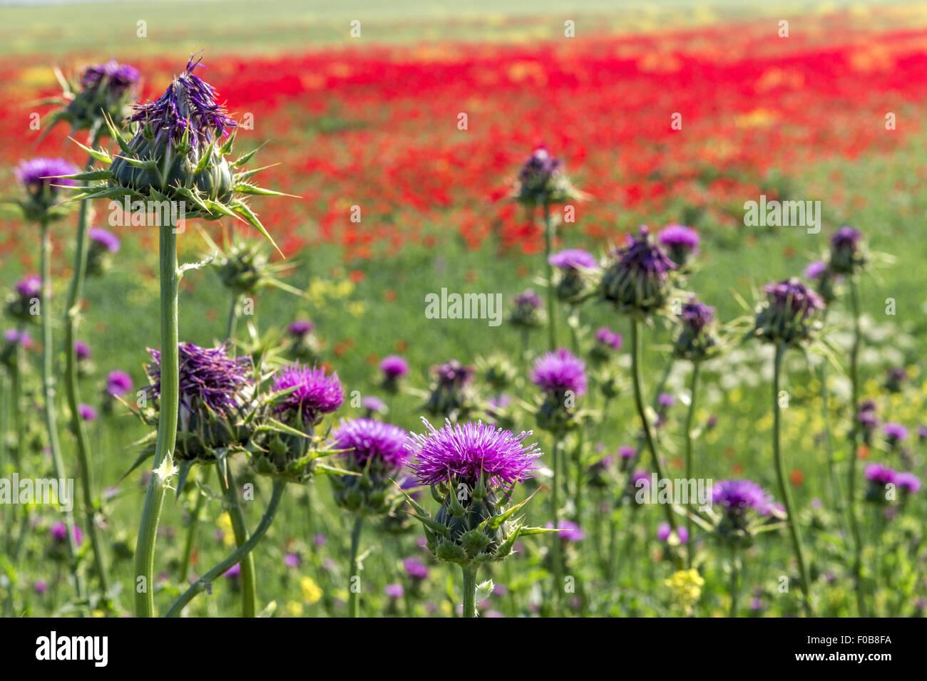 Poppies & Thistles in fields Azerbaijan - Stock Image