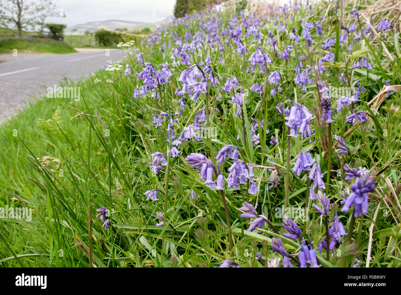 Roadside grass verge hedgerow with Bluebells wild flowers growing beside a country road in spring / summer. Scotland, - Stock Image