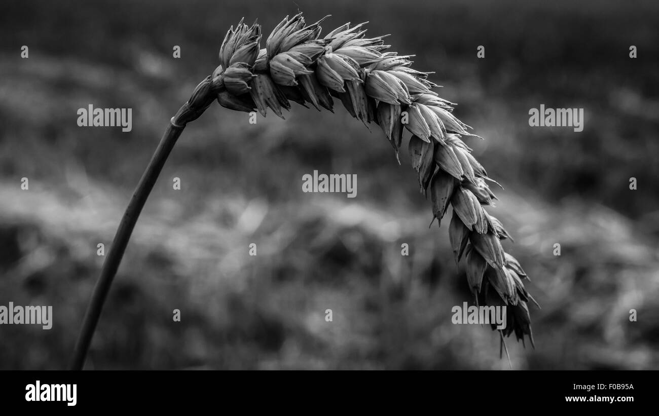 impressions of a wheat field - Stock Image