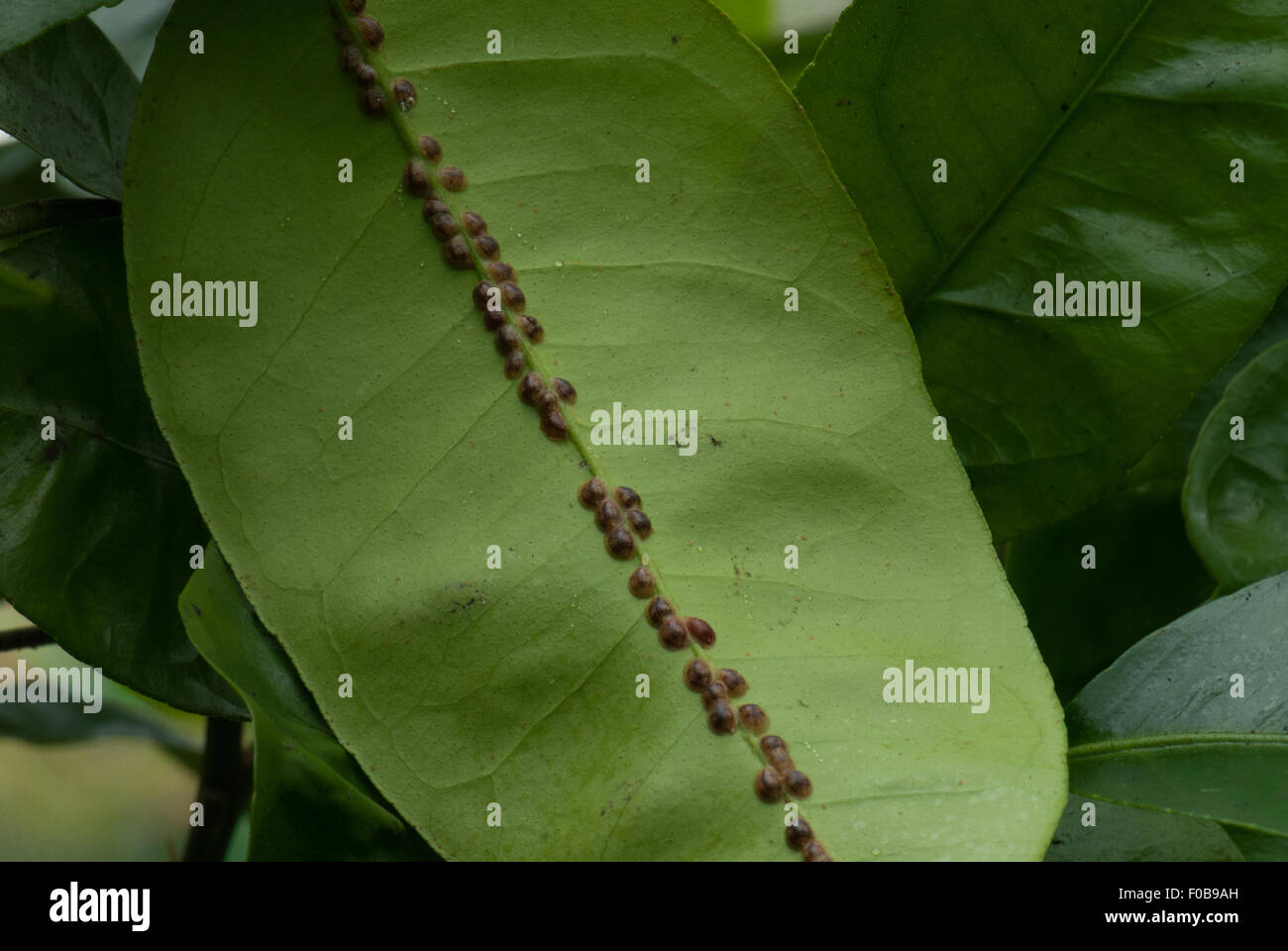 Scale insect on citrus leaves - Stock Image