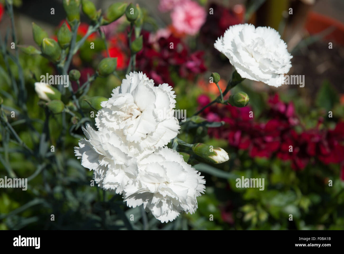Dianthus 'Haytor White' Stock Photo