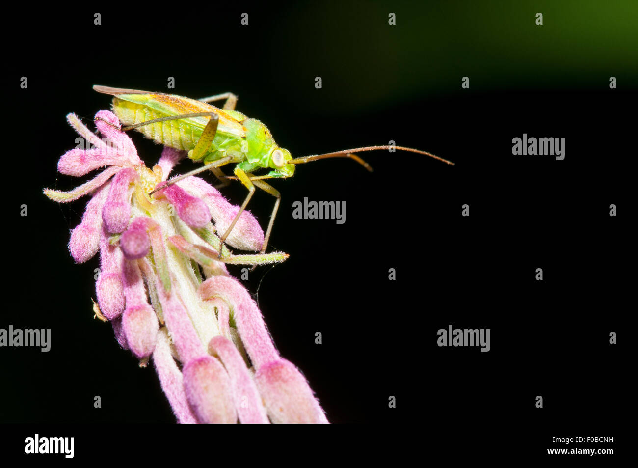 Potato capsid bug (Closterotomus norvegicus) adult perched on the tip of a flower spike of rosebay willowherb (Chamerion - Stock Image