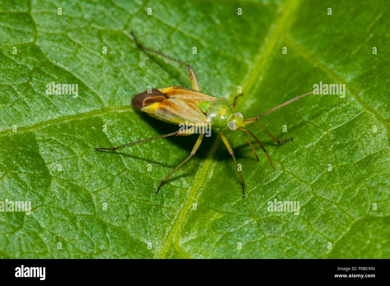 Potato capsid bug (Closterotomus norvegicus) adult perched on a leaf at Staveley Nature Reserve, North Yorkshire. - Stock Image
