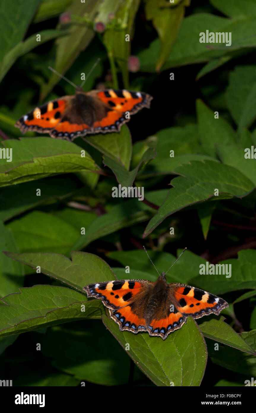 Small tortoiseshell (Aglais urticae) two adults basking on a shrub in a garden in Sowerby, North Yorkshire. July. - Stock Image