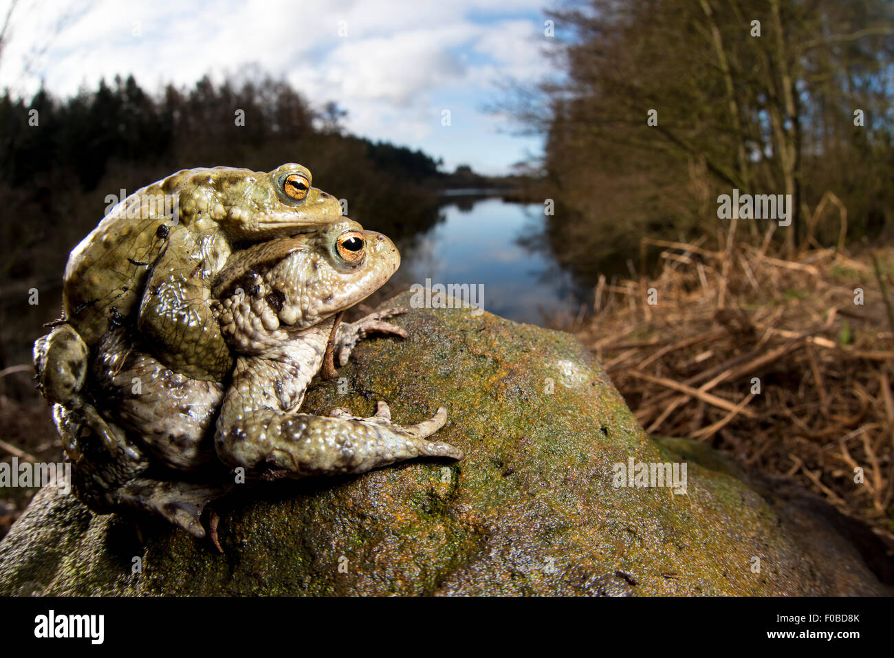 A pair of common toads (Bufo bufo) looking at Cod Beck Reservoir near Osmotherley in the North York Moors National - Stock Image