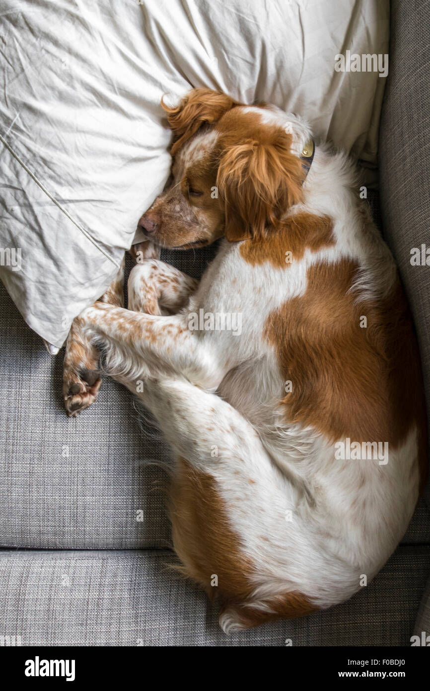 Orange and White French Brittany Dog sleeping on pillow - Stock Image
