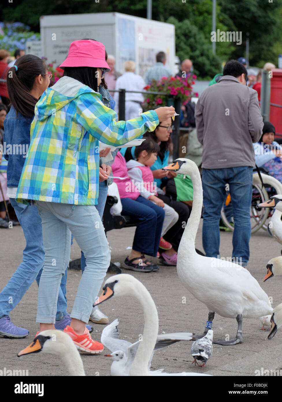 Tourists at Bowness-On-Windermere feeding the swans and birds chips end up loosing most of their meal - Stock Image