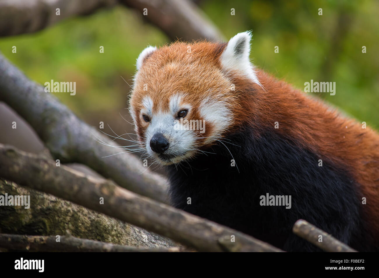 Close up of a Red Panda's face - Stock Image