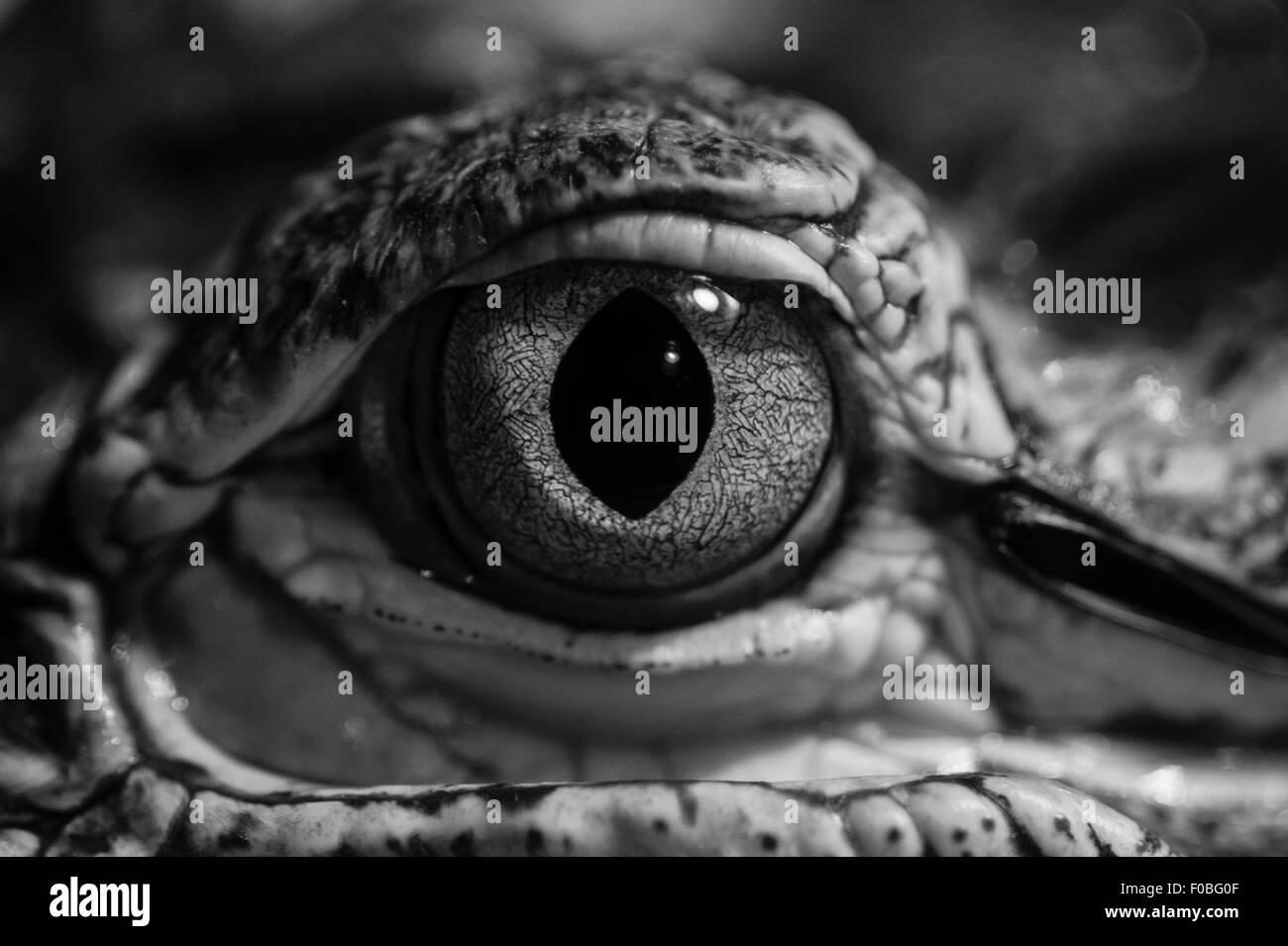 Close-up of  alligator's eye at Reptile zoo - Stock Image