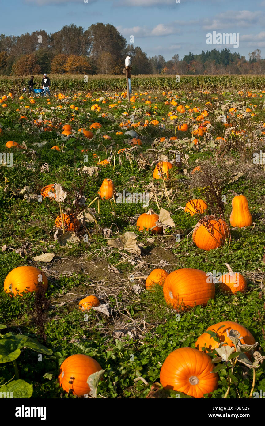 Autumn Pumpkin Patch Getting Ready For Halloween