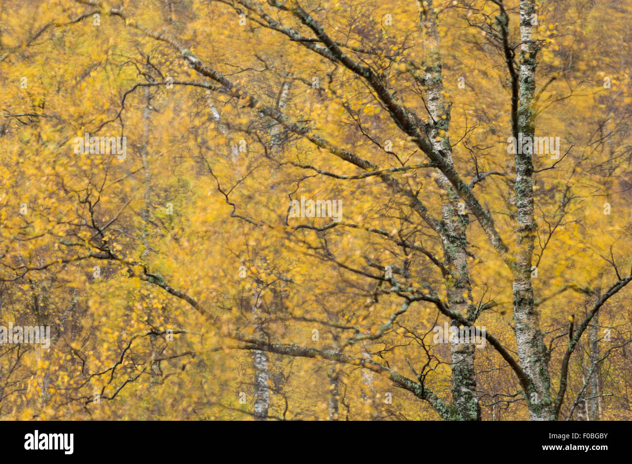 Autumn leaves blowing in wind, Scotland Stock Photo
