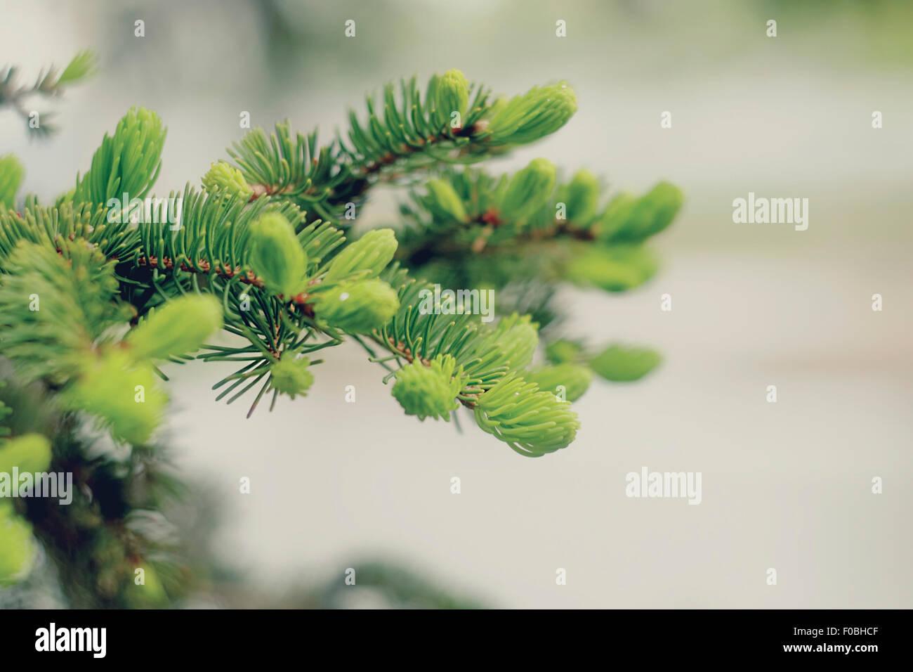 Spring evergreen pine tree branch - Stock Image