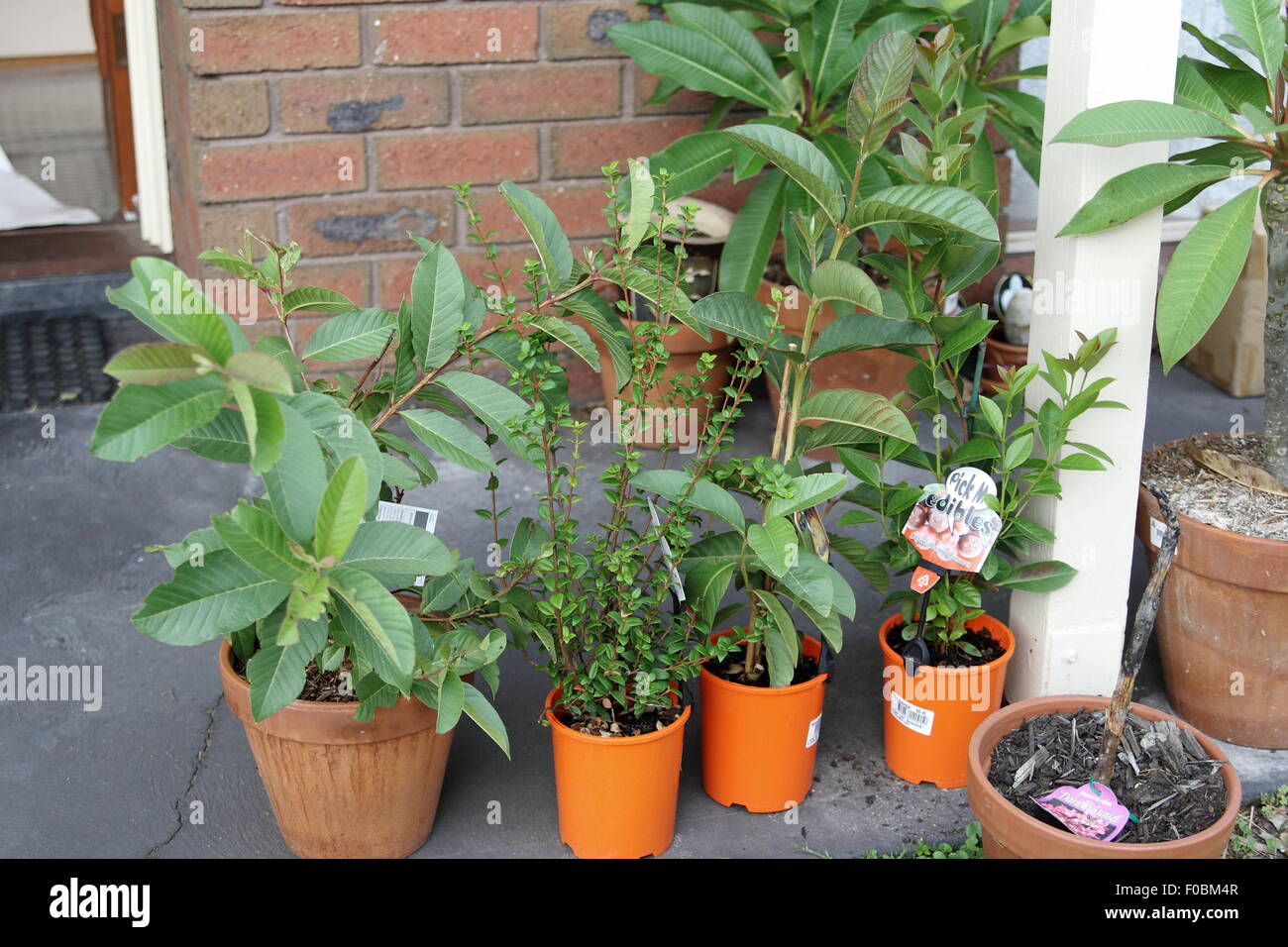 Growing guava in a pot Stock Photo: 86309127 - Alamy